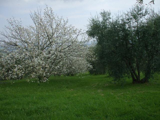 ciliegi-in-fiore-034