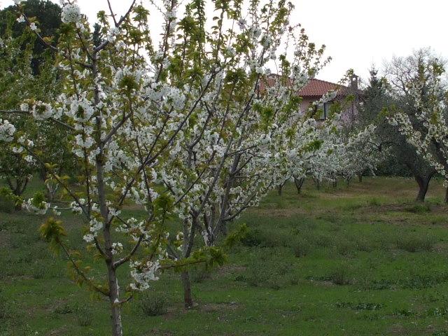 ciliegi-in-fiore-097